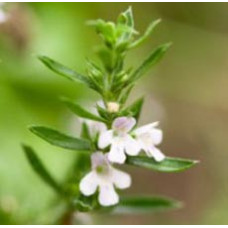 Savory Winter Essential Oil (France)