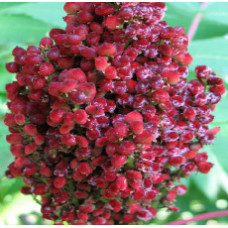 SUMAC BERRY WHOLE