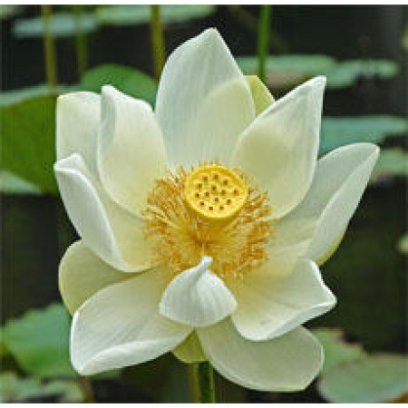 Lotus White Floral Water