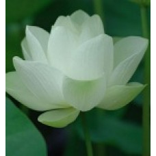 Lotus White 5percent