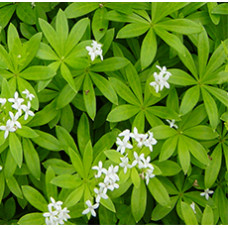 WOODRUFF HERB